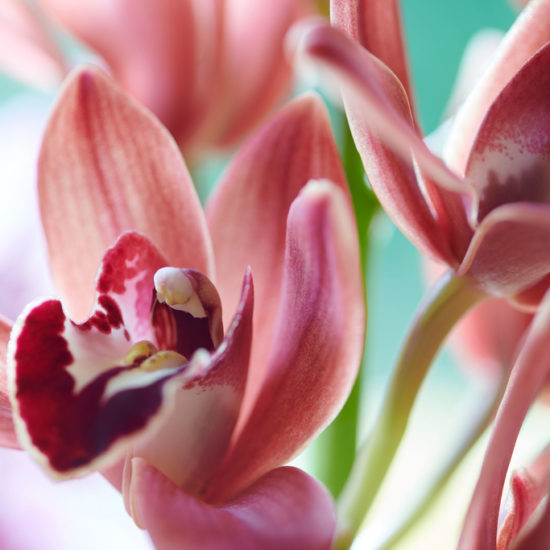 Orchidea dettaglio rosa