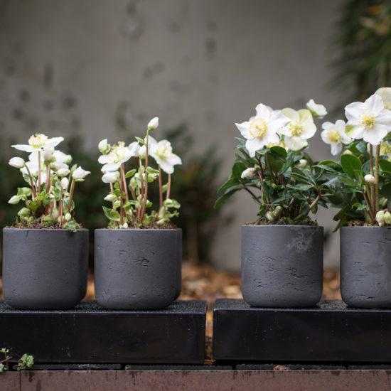 Helleborus in vaso 4 piante