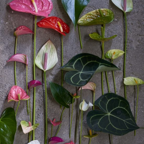Anthurium recisi colorati