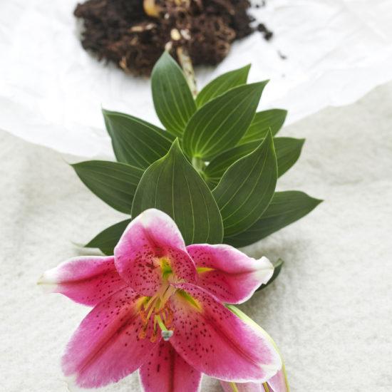 lilium dettaglio rosa